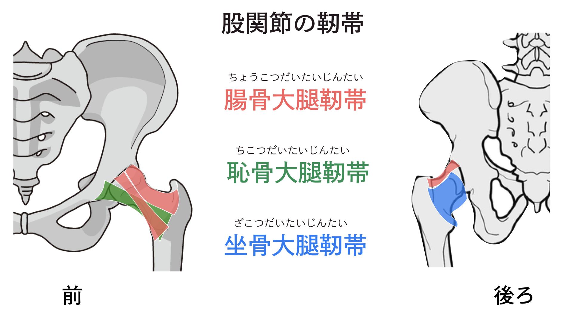 股関節 靭帯